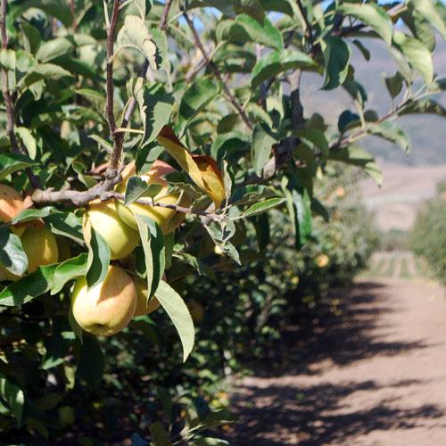 a California Apple Orchard